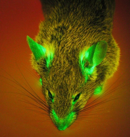 image-gfp-mouse-crop-copy